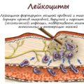 лейкоциты и их функции