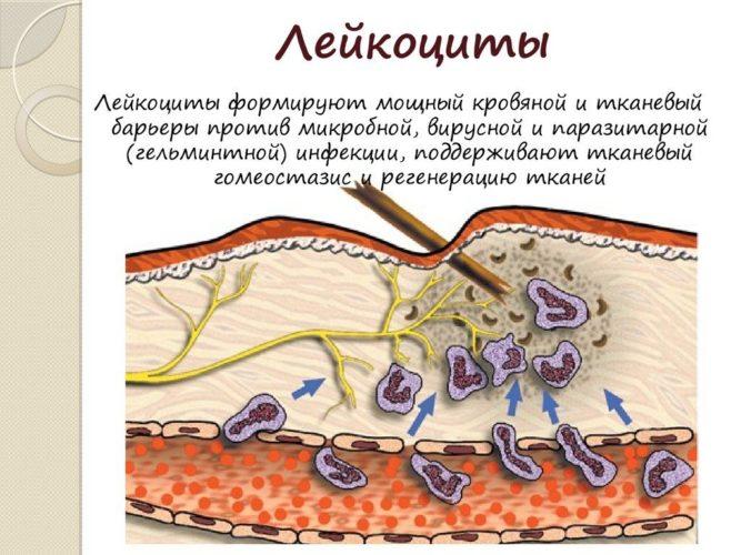 Мало лейкоцитов в крови: что это значит, причины, симптомы