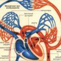 схема малого круга кровообращения